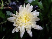 Witte Chrysant - Mooie Bloem Royalty-vrije Stock Afbeeldingen