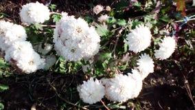 Witte chrysanten op een bed Royalty-vrije Stock Fotografie