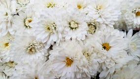 Witte chrysantenbloemen Stock Foto