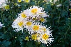 Witte chrysantenbloemen Stock Foto's