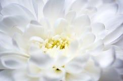 Witte chrysantenmacro Stock Afbeeldingen