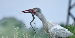 Witte ciconia van storckciconia royalty-vrije stock afbeelding
