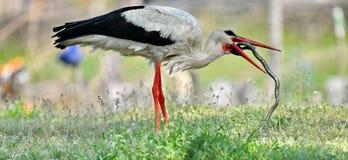 Witte ciconia van storckciconia stock afbeeldingen