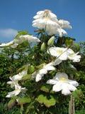 Witte Clematissen Royalty-vrije Stock Foto's