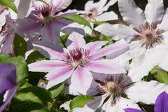Witte clematissenbloemen Stock Foto's