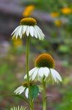 Witte Coneflowers - Echinacea Royalty-vrije Stock Fotografie