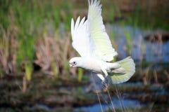 Witte Corella tijdens de vlucht Royalty-vrije Stock Foto's