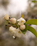 Witte Crabapple-Bloesem Stock Afbeeldingen