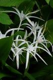 Witte Crinum Lillies in Regenwoud Royalty-vrije Stock Fotografie