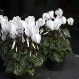 Witte cyclamens Royalty-vrije Stock Foto