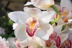 Witte cymbidiumorchideeën Stock Afbeeldingen