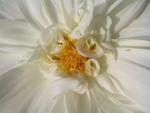 Witte Dahlia Stock Foto's