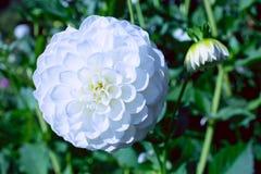Witte Dahlia in de Zomer royalty-vrije stock afbeelding