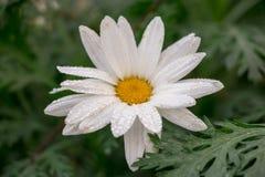 Witte Dahlia Flower aan Installatie in Koud Weer royalty-vrije stock fotografie