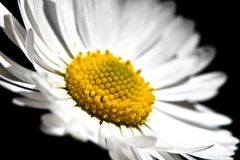 Witte Daisy Flower Stock Afbeelding