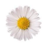 Witte Daisy Flower Royalty-vrije Stock Foto's