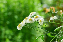 Witte Daisy Flower Stock Foto's