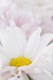 Witte Daisy Flower Daisies Floral Flowers Royalty-vrije Stock Foto