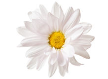 Witte Daisy Flower Daisies Flowers Isolated Stock Foto