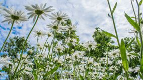 Witte daisys onder bewolkte hemel Royalty-vrije Stock Afbeeldingen