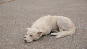 Witte Dakloze Hond op de Weg stock footage
