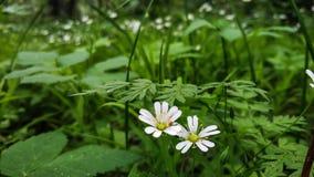 Witte de Anemoonnemorosa van de bloemenanemoon in een wilde aard Tegen de achtergrond van groene vegetatie van bladerenclose-up royalty-vrije stock afbeeldingen