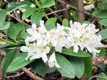 Witte de azaleabloemen 2016 van zuidenbethany Royalty-vrije Stock Afbeeldingen