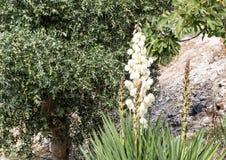 Witte de bloemaar van yuccafilamentosa in Alberobello, Italië stock afbeelding