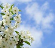 Witte de bloemachtergrond van de kersenboom in de lente Royalty-vrije Stock Foto's