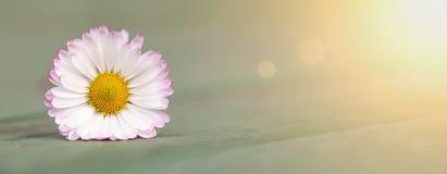 Witte de bloembanner van het de lentemadeliefje Royalty-vrije Stock Foto's