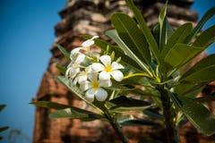 Witte de bloembloei van Almeria Stock Afbeelding