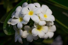 Witte de bloembloei van Almeria Royalty-vrije Stock Afbeelding