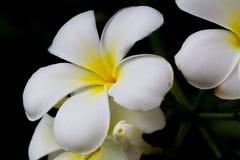 Witte de bloembloei van Almeria Stock Foto