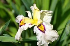 Witte de bloembloei van de verscheidenheidsiris in Cornell Botanical Gardens Stock Foto's