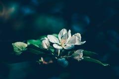 Witte de bloemenbloesem van de appelboom op tak royalty-vrije stock fotografie