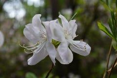 Witte de Bloesembos van Rododendronbloemen stock afbeeldingen