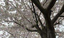 Witte de boomsakura van de kersenbloesem - het Piek bloeien stock foto's