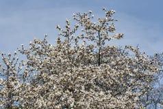 Witte de boomtakken van de de lentemagnolia met bloeiende bloemen en knoppen royalty-vrije stock afbeelding