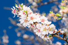 De bloesem van de lente van abrikozenboom Stock Afbeelding