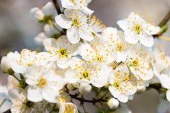 Witte de lentebloemen Royalty-vrije Stock Foto