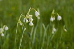 Witte de lentebloemen Stock Foto's