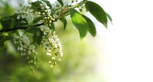 Witte de lentebloemen en bladeren Stock Foto's