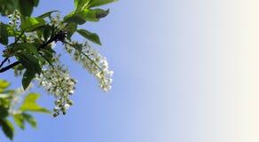 Witte de lentebloemen en bladeren op een blauwe hemelachtergrond Stock Afbeeldingen