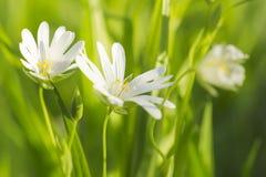 Witte de lentebloemen in het groene gras Stock Fotografie