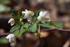 Witte de lentebloemen van Anemoonnemorosa stock afbeeldingen