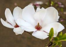 Witte de Magnolia's Bloemenbloemen van de magnoliabloem Stock Afbeelding
