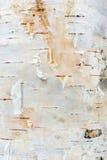 Witte de Schorstextuur van de Berkboom Royalty-vrije Stock Foto