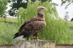 Witte De steel verwijderde van Overzees Eagle royalty-vrije stock fotografie