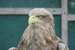 Witte De steel verwijderde van Overzees Eagle stock foto