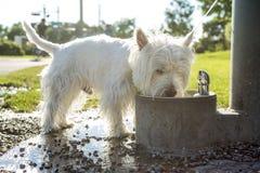 Witte de terriërhond van het het westenhoogland op leiband Stock Afbeelding